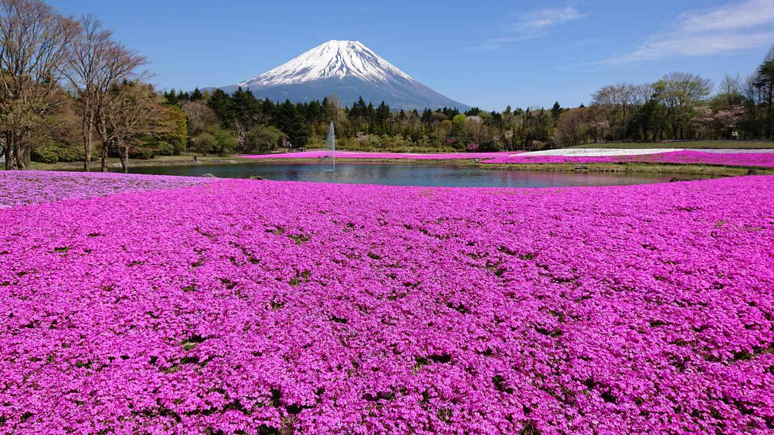 Mt-Fuji-Shibazakura-sakura-festival-2021-photos-Japanese-news-Japan-10.jpg