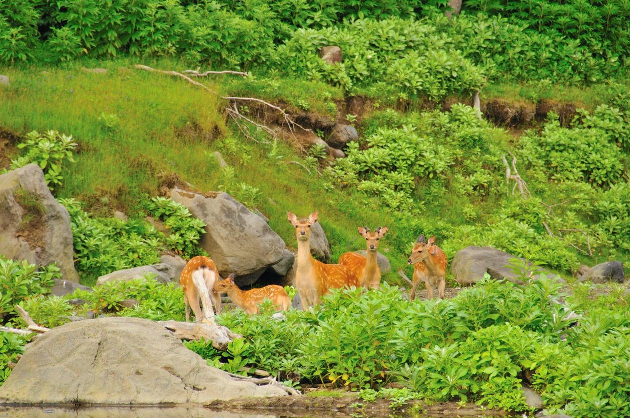 Shiretoko-National-Park-Hokkaido-Deer.jpg