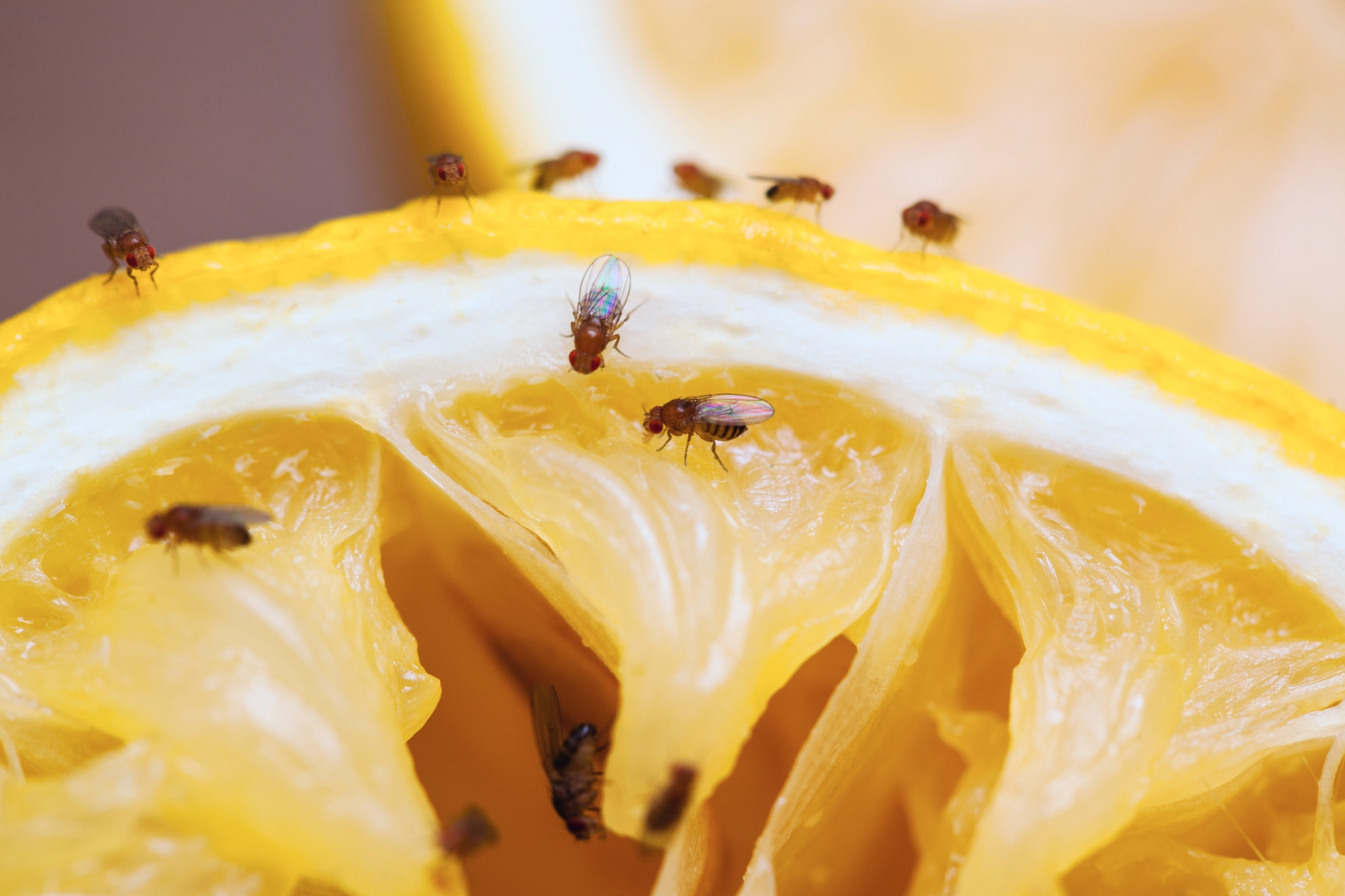 Fruitflies.jpg