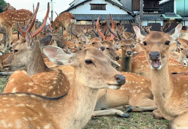 奈良鹿日本公園Shikadamori夏季現像日本旅行旅行新聞1 .jpg
