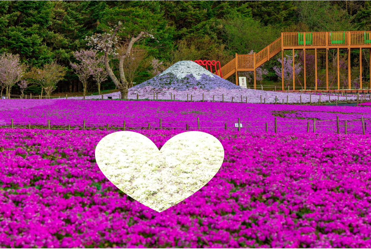 Mt-Fuji-Shibazakura-sakura-festival-2021-photos-Japanese-news-Japan-14.png