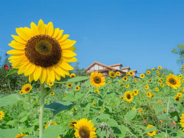 sunflowerfest.jpg