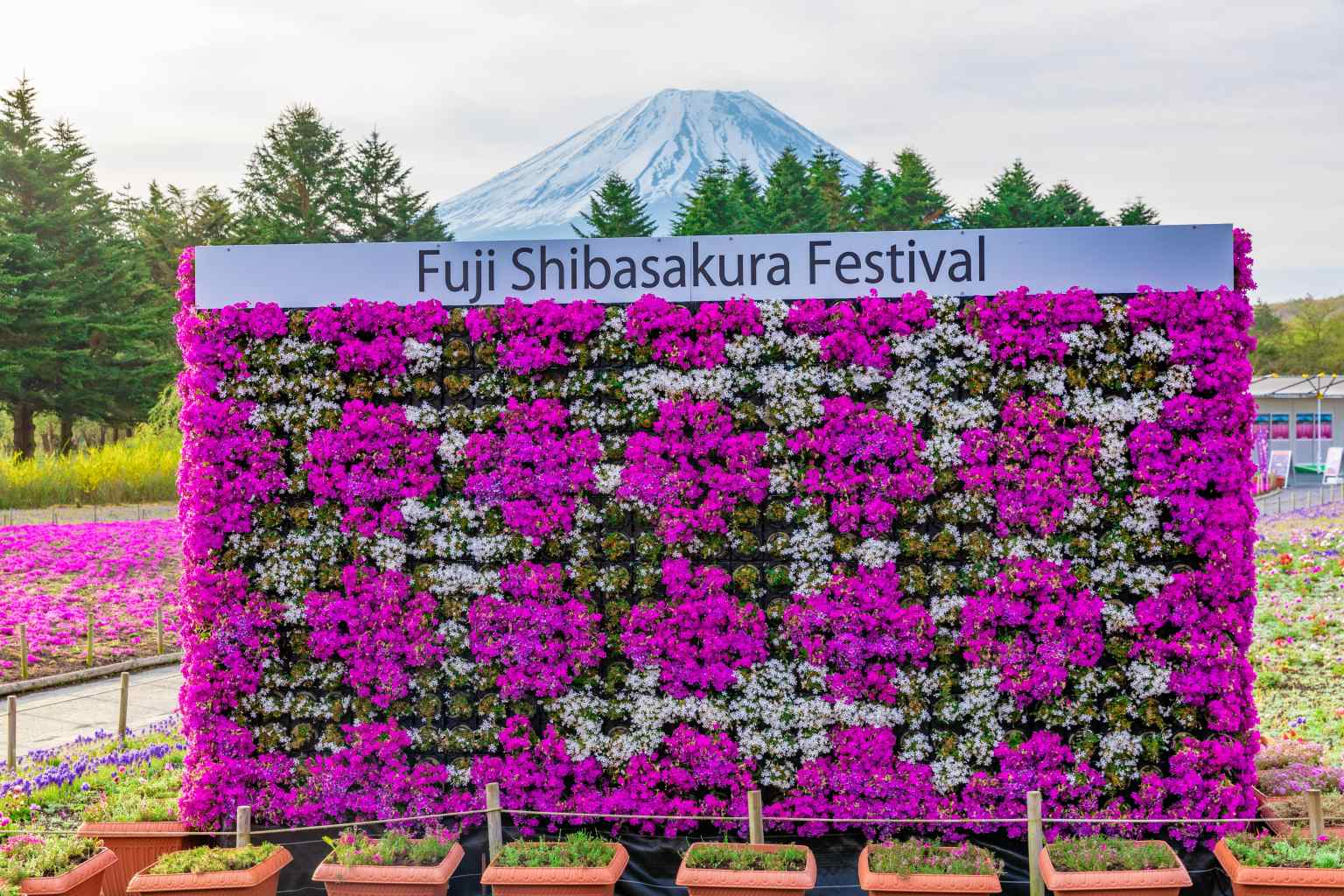 Mt-Fuji-Shibazakura-sakura-festival-2021-photos-Japanese-news-Japan-17.jpg